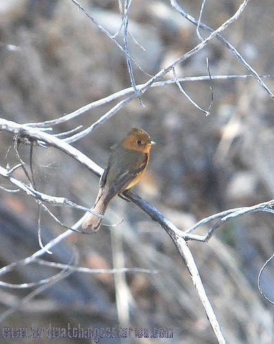 [:en]Bird Tufted Flycatcher[:es]Ave Mosquerito Moñudo[:]