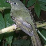 [:en]Bird Olive-striped Flycatcher[:es]Ave Mosquerito Ojimanchado[:]