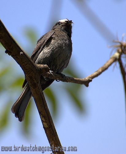 [:en]Bird Long-tailed Tyrant[:es]Ave Mosquero Coludo[:]