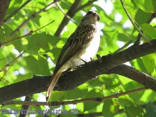 [:en]Bird Streaked Flycatcher[:es]Ave Mosquero Listado[:]