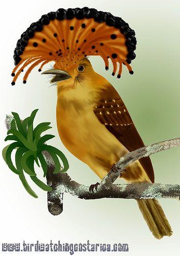 [:en]Bird Royal Flycatcher[:es]Ave Mosquero Real[:]