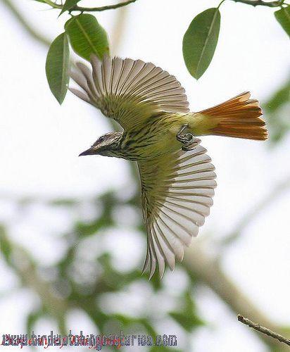 [:en]Bird Sulphur-bellied Flycatcher[:es]Ave Mosquero Vientriazufrado[:]