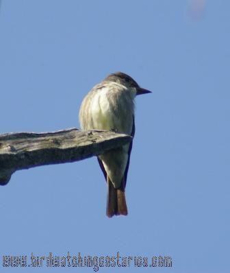 [:en]Bird Olive-sided Flycatcher[:es]Ave Pibí Boreal[:]