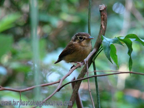 [:en]Bird White-throated Spadebill[:es]Ave Piquichato Gargantiblanco[:]