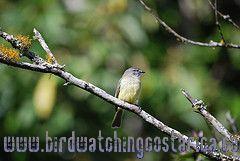 [:en]Bird Yellow-olive Flycatcher[:es]Ave Piquiplano Azufrado[:]