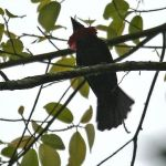 [:en]Bird Purple-throated Fruitcrow[:es]Ave Quérula Gorgimorada[:]