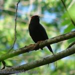 [:en]Bird Lance-tailed Manakin[:es]Ave Saltarín Coludo[:]