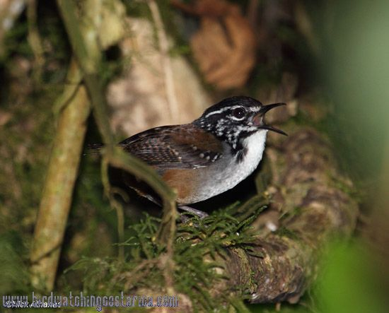 [:en]Bird White-breasted Wood-Wren[:es]Ave Soterrey de Selva Pechiblanco[:]