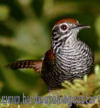 [:en]Bird Riverside Wren[:es]Ave Soterrey Pechibarreteado[:]