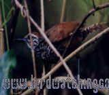 [:en]Bird Spotted-breasted Wren[:es]Ave Soterrey Pechimoteado[:]