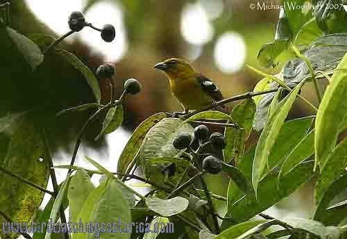 [:en]Bird White-winged Tanager[:es]Ave Tangara Aliblanca[:]