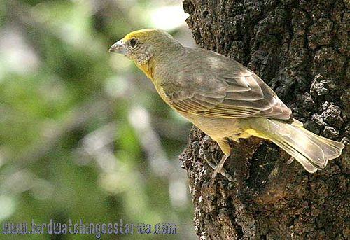 [:en]Bird Hepatic Tanager[:es]Ave Tangara Bermeja[:]