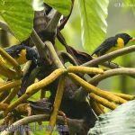[:en]Bird Blue-and-gold Tanager[:es]Ave Tangara de Costillas Negras[:]