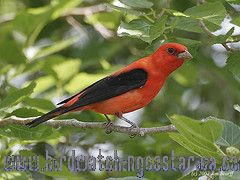 [:en]Bird Scarlet Tanager[:es]Ave Tangara Escarlata[:]