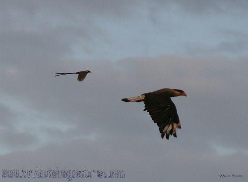 [:en]Bird Fork-Tailed Flycatcher[:es]Ave Tijereta Sabanera[:]