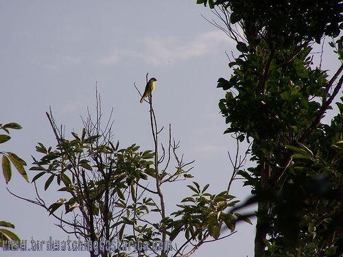 [:en]Bird Tropical Kingbird[:es]Ave Tirano Tropical[:]