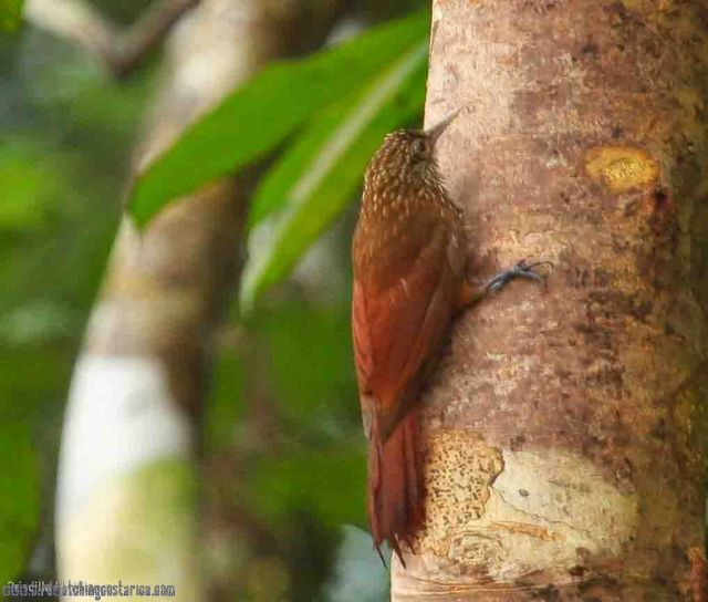 [:en]Bird Long-tailed Woodcreeper[:es]Ave Trepador Delgado[:]