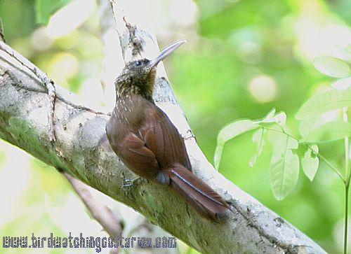 [:en]Bird Cocoa Woodcreeper[:es]Ave Trepador Gorgianteado[:]