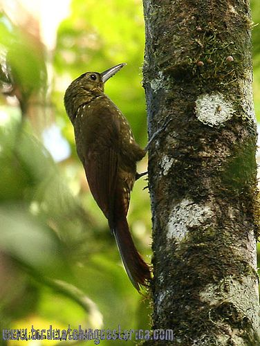 [:en]Bird Spotted Woodcreeper[:es]Ave Trepador Manchado[:]