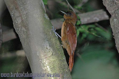 [:en]Bird Ruddy Woodcreeper[:es]Ave Trepador Rojizo[:]