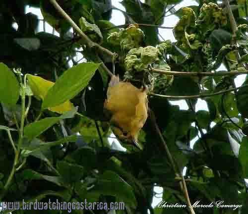 [:en]Bird Buff-fronted Foliage-gleaner[:es]Ave Trepamusgo Rojizo[:]