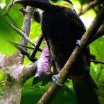 [:en]Bird Yellow-eared Toucanet[:es]Ave Tucancillo Orejianaranjado[:]
