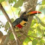 [:en]Bird Fiery-billed Aracari[:es]Ave Tucancillo Piquianaranjado[:]
