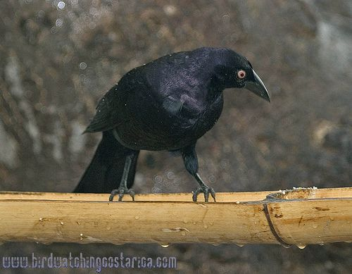 [:en]Bird Giant Cowbird[:es]Ave Vaquero Grande[:]