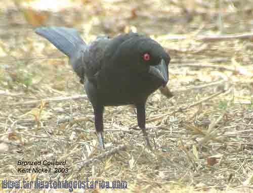[:en]Bird Bronzed Cowbird[:es]Ave Vaquero Ojirrojo[:]