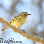 [:en]Bird Yellow-winged Vireo[:es]Ave Vireo Aliamarillo[:]