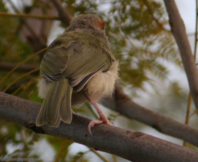 [:en]Bird Rufous-browed Peppershrike[:es]Ave Vireón Cejirrufo[:]