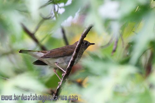 [:en]Bird Gray-cheeked Thrush[:es]Ave Zorzal Cabecigris[:]