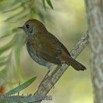 [:en]Bird Ruddy-capped Nightingale-Thrush[:es]Ave Zorzal Gorrirojozo[:]