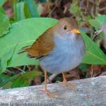 [:en]Bird Orange-billed Nightingale-Thrush[:es]Ave Zorzal Piquianaranjado[:]