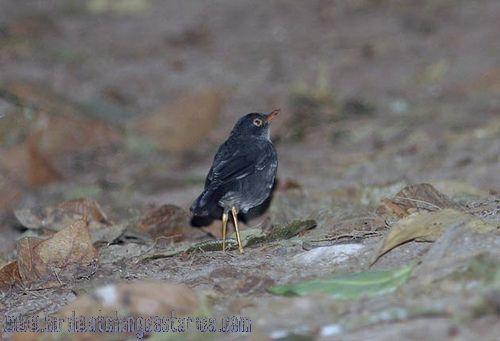 [:en]Bird Salty-backed Nightingale-Thrush[:es]Ave Zorzal Sombrío[:]