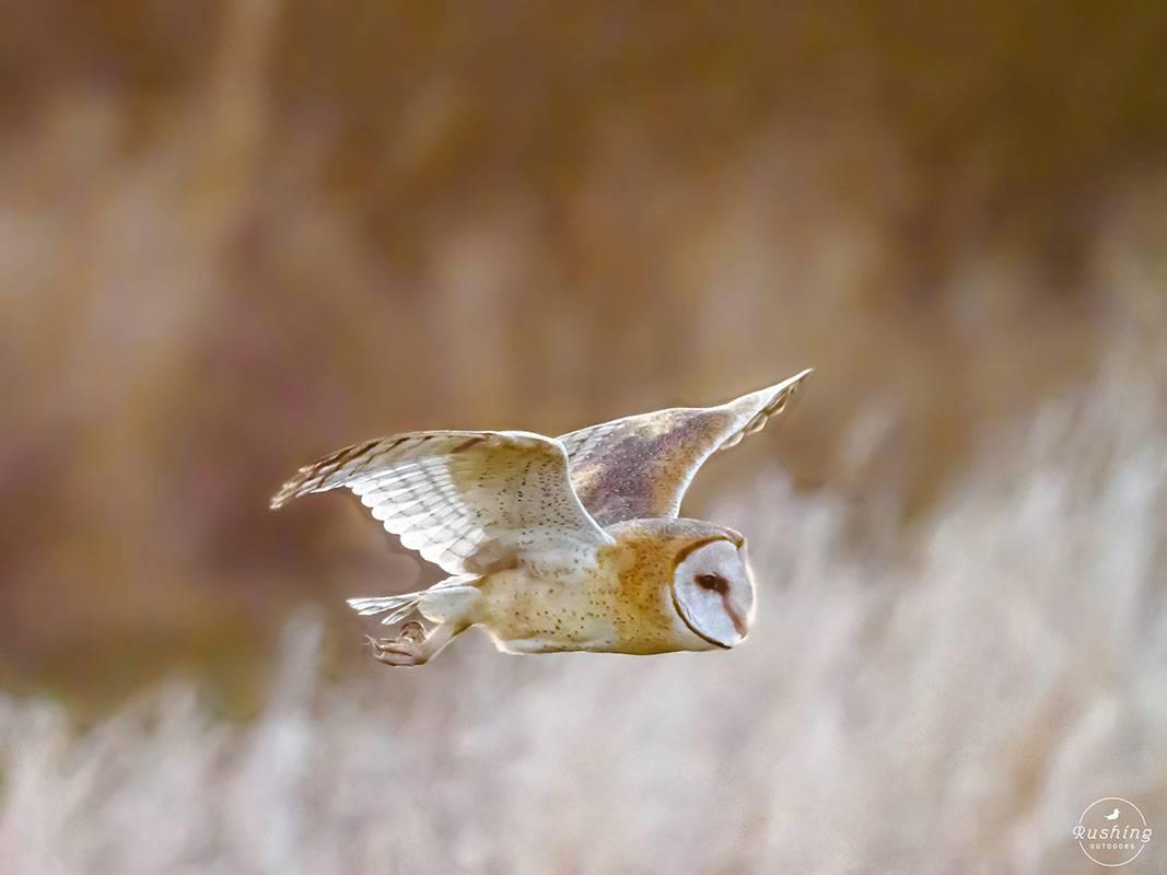 Barn Owl by Steve Rushing