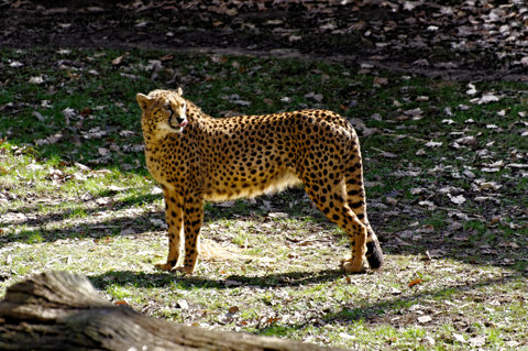 Bild: Gepard im Tiergarten Nürnberg.