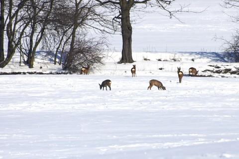 Bild: Rehwild beim Äsen im Schnee.