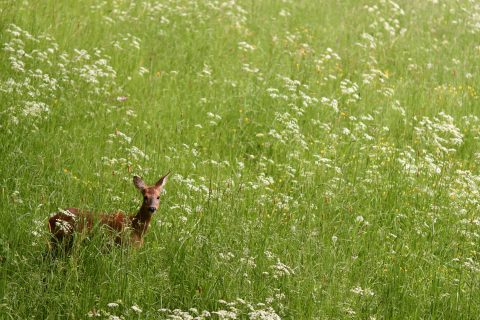 Bild: Schmalreh auf einer Waldwiese an einem Frühlingsmorgen. NIKON D500 mit AF-S VR MICRO-NIKKOR 105 MM 1:2,8G IF-ED. ISO 1.600 ¦ f/2.8 ¦ 105 mm ¦ 1/100 s ¦ kein Blitz. Klicken Sie auf das Bild um es zu vergrößern.