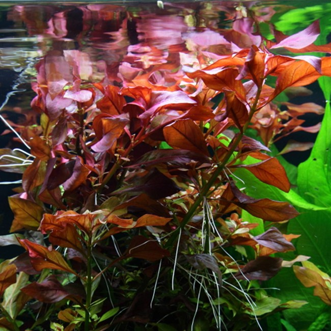 Buy Aquatic Plants Online