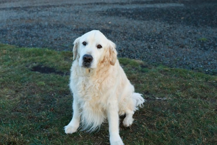Golden Retriever dog sits on grass and looks at the camera