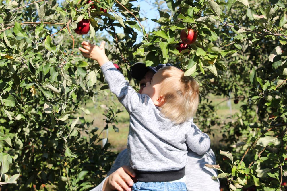 reaching for apple in orchard