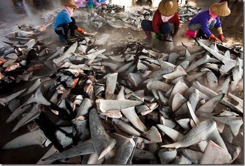 sharkfinningnatgeo
