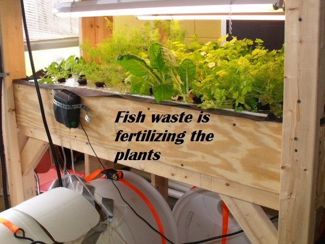 Aquaponics Fish Waste Keystone Prject 011 at bishop ludden - Science