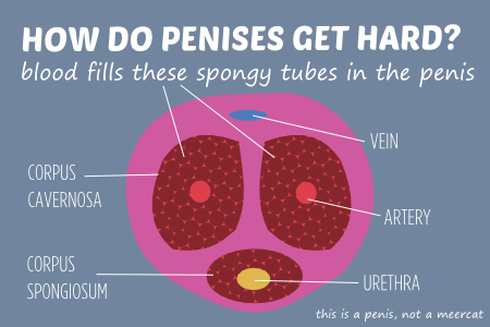 How do penises get hard
