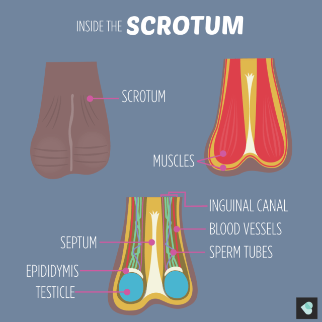 Inside the scrotum