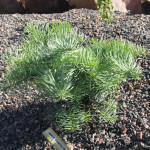 Abies_concolor_La_Veta1