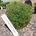 Thuja_occidentalis_Teddy