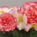 Knolbegonia_non_stop_rose_petticoat
