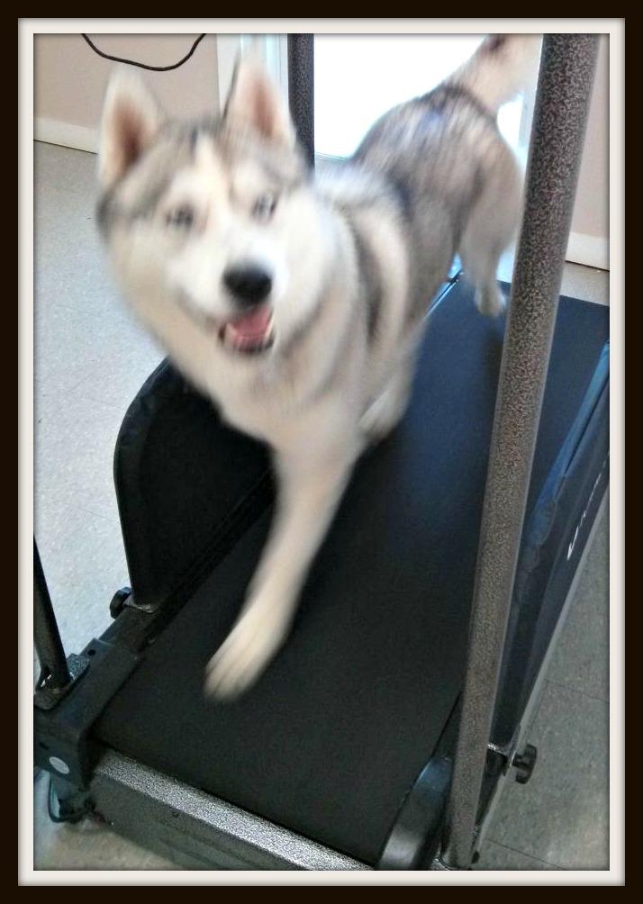 How To Teach A Dog To Use A Treadmill A Husky Life